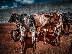 Boi (rvcroffi) Tags: brown white black animal bull preto ox hdr hdri boi marrom malhado grouped boiada