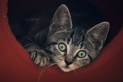 {huh?} (Audrey Meffray) Tags: red cute green closeup cat canon bigeyes eyes kitten chat rest chaton tigr 450d 702004lusm