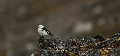 Perched Snow Bunting