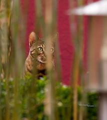 Bengal Cat hiding behind Bamboo (Andreas Krappweis - thanks for 2,2 million views!) Tags: focus bamboo hiding shallowdof bengalcat minoltadynax7d minoltaalpha7d tamron2870200