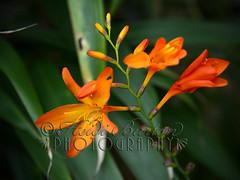 20130813-Flowers-008 copy (Heidi B Photog) Tags: heidi photographer westonsupermare burton unitedkingdon