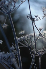 Winter Sparkle (jillyspoon) Tags: winter cold ice nature weed frost sparkle icy zerodegrees canon450d