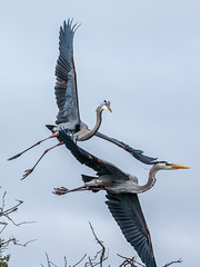 Aerial Battle 1 (DonMiller_ToGo) Tags: nature birds wildlife rookery waterbirds gf1 wildflorida venicerookery