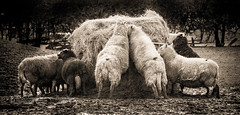 Eat Hay.... (TraceyWilliamsPhotography) Tags: sepia wales canon photography sheep feeding hay livestock powys welshpool coedydinas