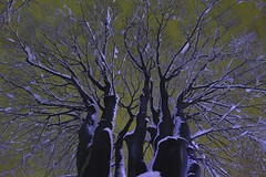 Dream of snow night…  (SIGMA DP1 Merrill) (potopoto53age) Tags: park winter sky snow plant tree apple yellow japan night big aperture dream sigma lookup 日本 bigtree f28 yamanashi merrill kofu wintertree snownight 19mm dp1 appleaperture sigmalens yellowsky 山梨県 inwinter 欅 japanesezelkova 甲府市 nightpark potopoto53age sigmaphotopro sigmadp dp1m sigmadp1merrill sigmalens19mmf28 sigmaphotopro553 dreamofsnownight