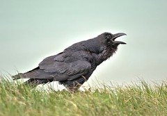 Raven (Corvus corax) (tsbl2000) Tags: birds cliffs raven eastsussex seaford corvid 300mm