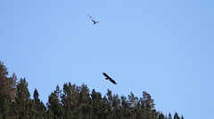 Two buzzards and a Sea Eagle. (northernkite) Tags: sea wild white mountains flying eagle free common tailed buzzards