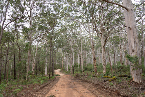 Karri trees (Eucalyptus diversicolor) of the Boranup Forest near Margaret River, WA.