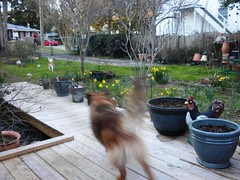 Attack the enemy! (Just Back) Tags: winter sc dogs yard garden fur mutt tail hannah lawn columbia pots deck carolina chilly paws february protection defense daffodils barking gamecock territorial defend canines