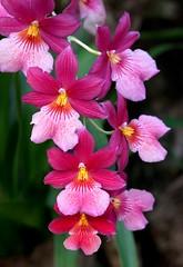 Burrageara 'Nelly Isler' (blumenbiene) Tags: flowers plant orchid flower garden botanical orchids pflanze nelly leipzig orchidee blüte garten blüten boga orchideen botanischer burrageara isler orchideenblüten orchideenblüte