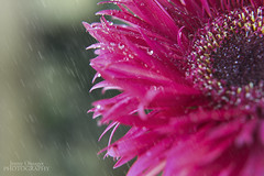 Sunday Morning Rain (Jenny Onsager) Tags: light rain canon bokeh sunday gerberadaisy pinkpetals morningrain pinkgerberadaisy sundayrain mygearandme mygearandmepremium mygearandmebronze mygearandmesilver mygearandmegold mygearandmeplatinum mygearandmediamond jennyonsager