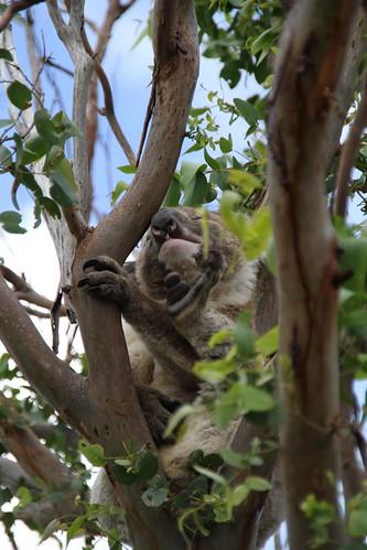 Koala beim Kratzen