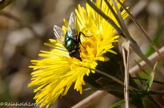 First Flies #2 (Reinhold.Lotz) Tags: deutschland hessen natur pflanzen insekten fliegen huflattich hombergohm