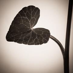Ficaire (lavilotte-rolle) Tags: flowers bw flower leave fleur leaves fleurs blackwhite nb feuilles feuille flore noirblanc ficaire ficairefausserenonculeranunculusficaria