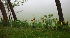 (B Plessi) Tags: italia aprile italie marche bgp tulipe tulipano 2014 gualda