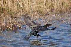 Cormorant landing (AlexRobson98) Tags: sony di cormorant 300 tamron 70 usd a65
