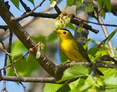 Wilson's Warbler (Nick Scobel) Tags: michigan migration wilsons warbler pusilla cardellina