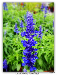 Beauty of Flowers and Nature. (cpark188) Tags: plants flower picasa lavenderflower olympusepl3