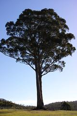 the magnificent (keith midson) Tags: tree rural farming large sigma australia kingston tasmania agriculture merrill foveon dp2