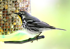 yellow-throated warbler IMG_4689 (lreis_naturalist) Tags: reis larry warbler yellowthroated