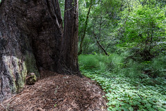 Quiet place in Muir Woods (sylvain.collet) Tags: sanfrancisco trees usa nature canon perspective arbres muirwoods redwoods trunks sequoia 1635mm troncs