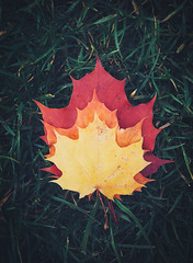 green red orange yellow (itawtitaw) Tags: autumn red orange color green nature grass leaves yellow maple colorful glow samsung lookdown mobilephone layers blätter ahorn