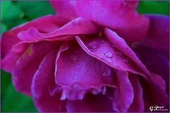 PETALES ET COULEURS (Gilles Poyet photographies) Tags: nature fleur rose soe auvergne puydedme clermontferrand autofocus aplusphoto jardinlecoq artofimages rememberthatmomentlevel1