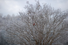Cardinal in a Crystal Tree SOOC (arrow734) Tags: tree ice cardinal icy icytree iceintennessee winterstorm2015 iceevent2015feb tennesseeicestorm2015