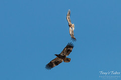 Juvenile Bald Eagle mid-air play sequence - 3 of 7