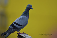 Indian Pigeon (imadphotos) Tags: india me pigeon delhi like follow fave page comment facebook dpc imadphotos