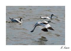 Avocettes elegantes (1DSens33) Tags: bird vol bec teich marais oiseau oiseaux plume ailes avocette lgante