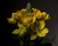 Yellow Petals (Edward Arthur) Tags: flower yellow flash manualfocus helicon b800 strobist
