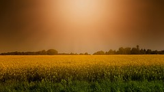 Champ de colza (Yasmine Hens) Tags: orange yellow landscape europa flickr belgium ngc campagne namur hens yasmine wallonie colza flitre iamflickr flickrunitedaward hensyasmine
