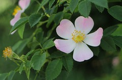 Wild Rose Blossom (tonywild241) Tags: park canada flower nature canon spring blossom path britishcolumbia trail wildrose autofocus canonphotography okanaganbc