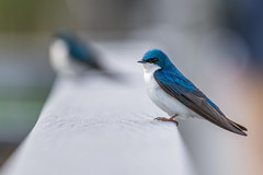 Tree Swallow (PhillymanPete) Tags: blue bird philadelphia nature us spring nikon unitedstates pennsylvania wildlife swallow tinicum treeswallow johnheinznwr heinznwr d800e