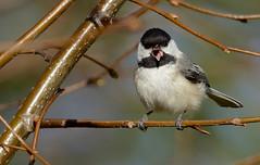 black-capped chickadee (sttweston) Tags: fz200 e17ed