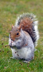 Squirrel 57 (John Carson Essex R.I.P. John and thank you for be) Tags: thegalaxy supersix rainbowofnature thegalaxystars