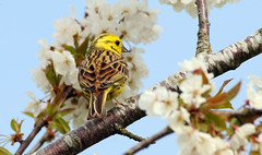 yellowhammer amongst the blossom (petegatehouse) Tags: flower blossom branches twigs bunting yellowhammer beautifulbird yellowbrown