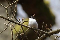 Male Pied Flycatcher (Ficedula hypoleuca) (sdflickr2) Tags: derbyshire gorge pied flycatcher padley