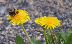 Summer_B-2-Q1606Lg (Guyser1) Tags: scenic dandelion bee bumblebee yellowstone microlandscape nikond3200 yellowstonepark westyellowstone