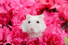 DSC_6612 () Tags: pet animal hamster  hammy