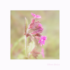 Silene dioica (BirgittaSjostedt) Tags: wild summer plant flower texture field closeup blossom pastel ie legacy redcampion silenedioica photoborder redcatchfly magicunicornverybest birgittasjostedt