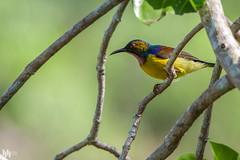 Brown-throated Sunbird (male) (hisham_halipah) Tags: nature wildlife branches birding sunbird wildbird