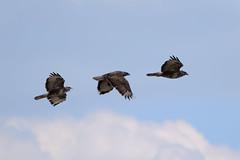 Poiana (Alessandro Giannini 1991) Tags: animali falchi poiana corvi cornacchia uccello uccelli volo invasione italia fauna mediterraneo