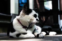 Tired Cat (zimujova) Tags: cat animal pet yawn rawr tired sleepy blackandwhite bokeh portrait