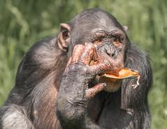 Chimpanzee 2 (R22GMS) Tags: zoo monkey ape chimpanzee
