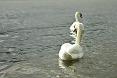2 Schwäne im Rhein (tmertens0) Tags: bird silver germany deutschland spring 9 f2 jupiter mainz schwan 85 vogel frühling rheinlandpfalz rheinhessen wasservogel