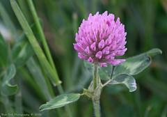 Clover (Rick & Bart) Tags: flower nature canon flora belgium hasselt bloom clover wildflower limburg klaver herkenrode rickbart rickvink eos70d