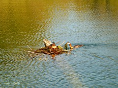 Resourceful Grebes.. (Trinimusic2008 - stay blessed) Tags: park toronto ontario canada nature to waalk trinimusic2008 judymeikle humberbayparkw