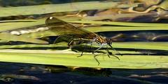 Damigella (66Colpi) Tags: ticino dragonfly fiume ali insetto libellula volare damigella riglessi